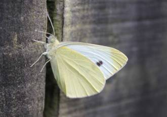 cabbage-white-butterfly-fenceH